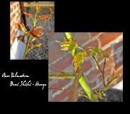 exotic garden acer palmatum ahorn rarit ten. Black Bedroom Furniture Sets. Home Design Ideas